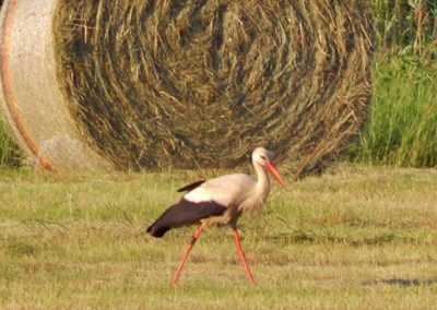 Storch auf der Wiese in der Lüneburger Heide