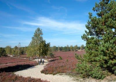 Spaziergang während der Heideblüte in der Lüneburger Heide