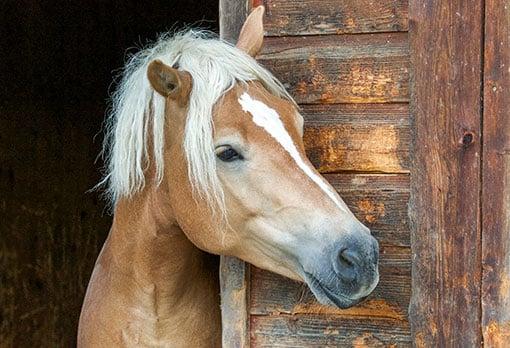Neugieriges Pferd guckt aus dem Stall