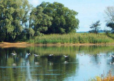 Ein Vogelschwarm fliegt über der Elbe